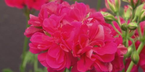 s03-e07-pelargoniums