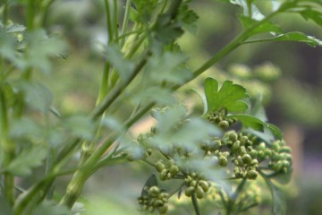herbs'