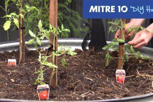 Mitre 10 DIY Staking Tomato PLant