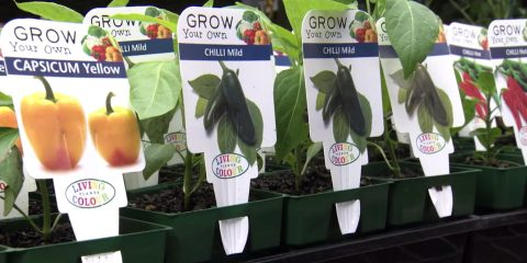 Living Colour Advanced Seedlings