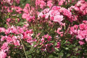 roses-roses