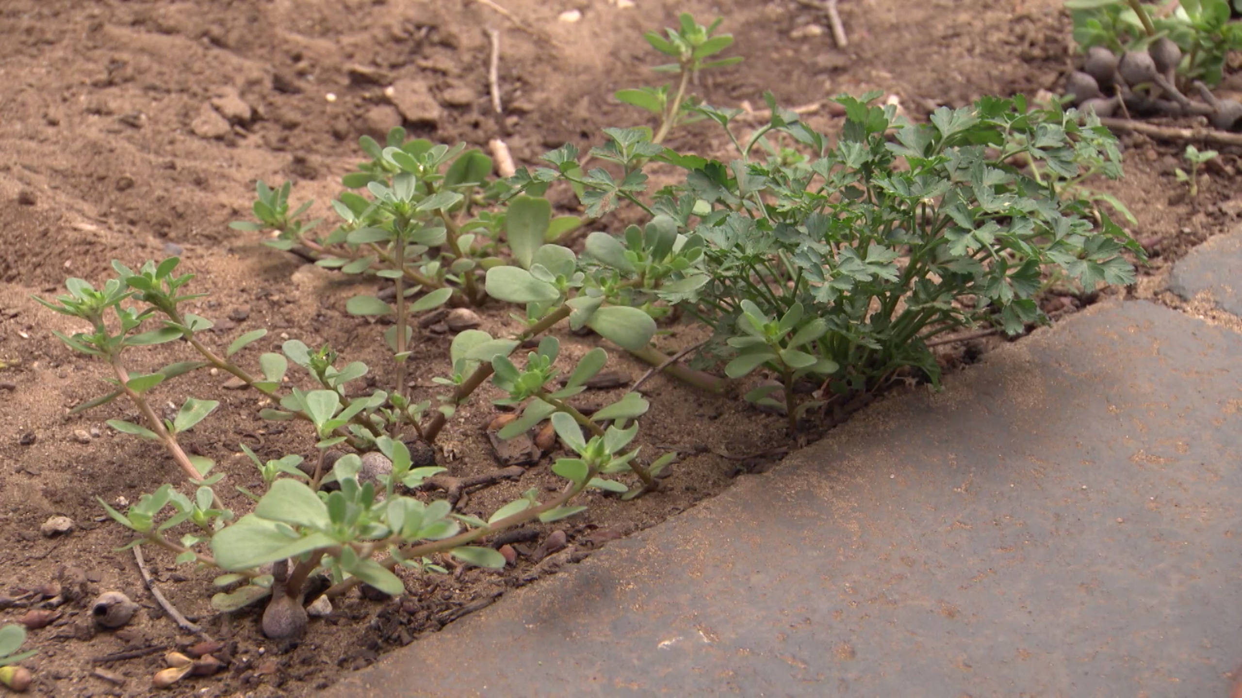 Purslane | In The Garden with Kim Syrus | Channel 9