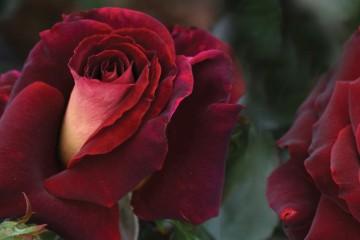 RSL Rose