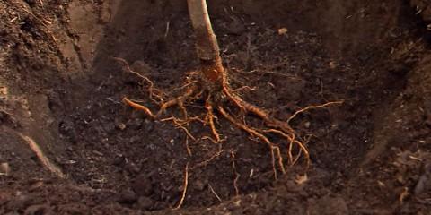 balhannah-planting-fruit-trees
