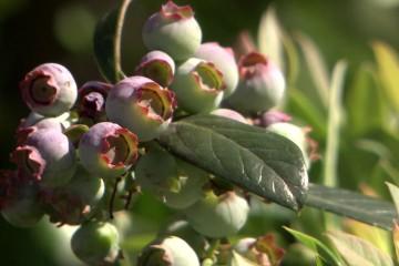 s03-e08-heynes-berries