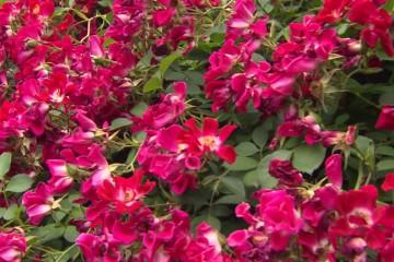 s03-s09-yates-growing-roses