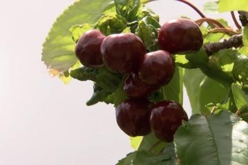 Cherry Growing