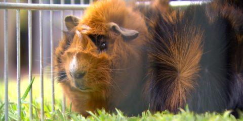 Guinea Pigs with Dr. Derek McNair