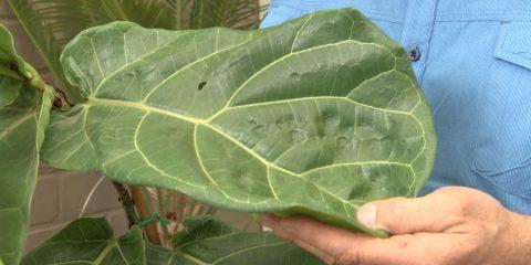 Fiddle-Leaf Ficus
