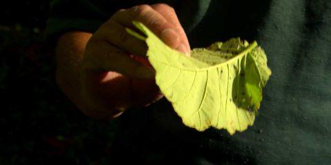 elm-leaf-beatle