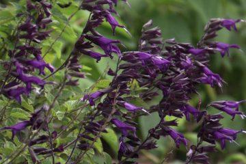Purple Plants