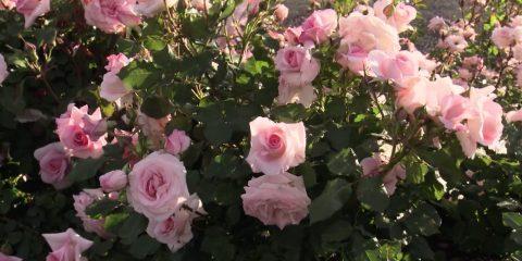 renmark-roses